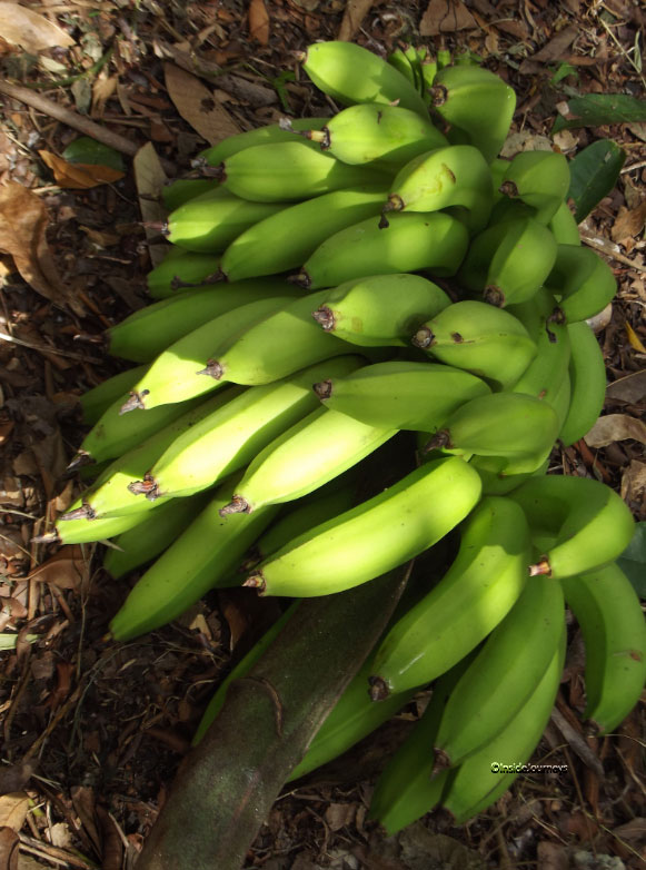 Green bananas, Jamaica