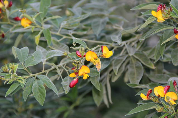 Pigeon pea plant