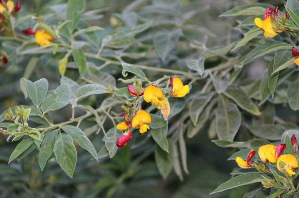 Pigeon pea plant