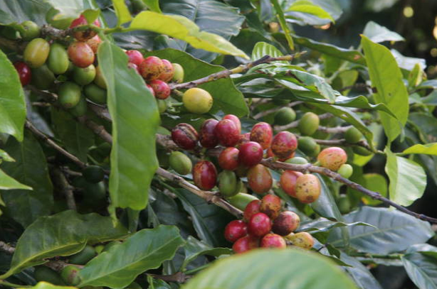 Coffee Beans, Blue Mountains