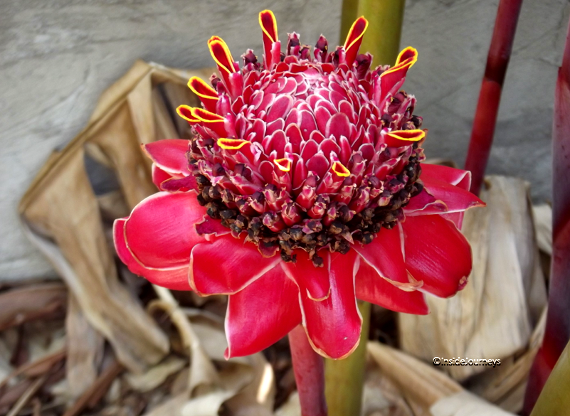 Tropical Flowers, fully opened torch ginger