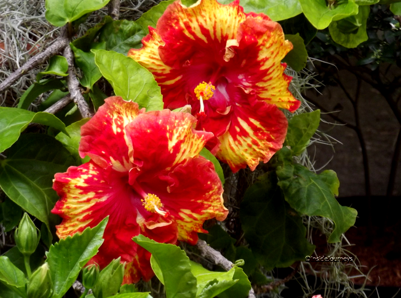Red & yellow hibiscus for Valentine's Day