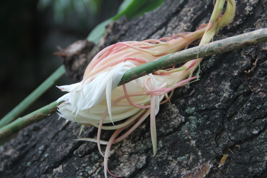 Tropical Flower, Night Blooming Cereus