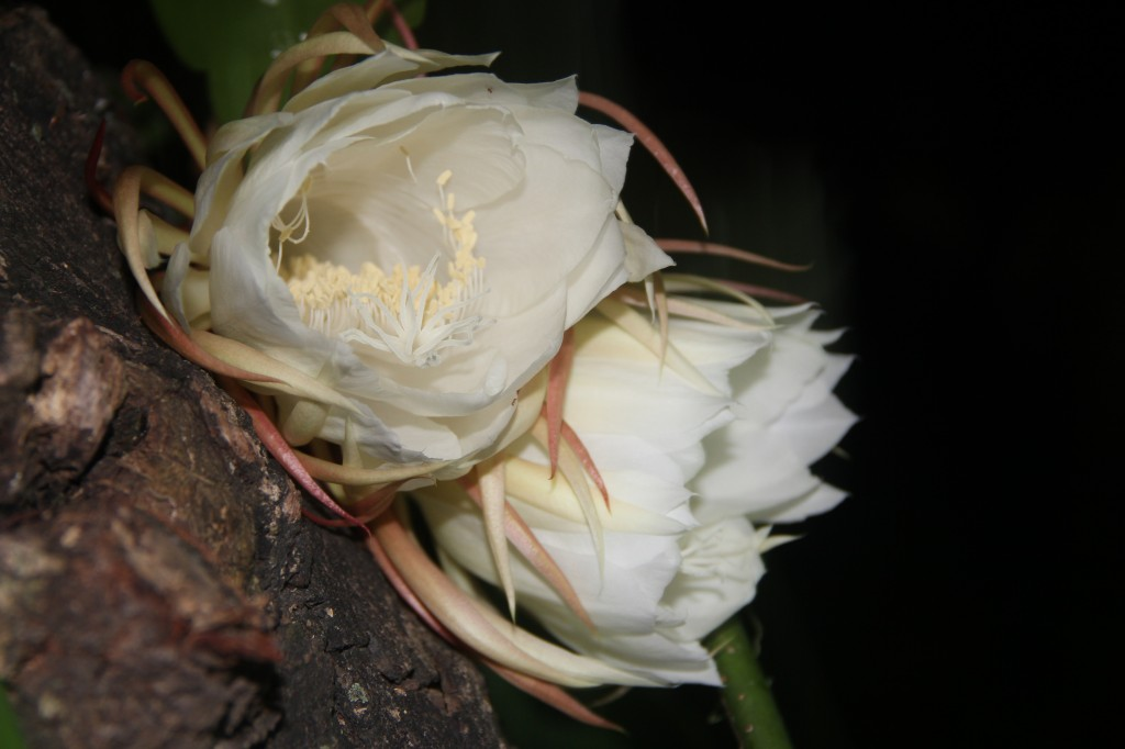 Tropical flowers - night blooming cereus