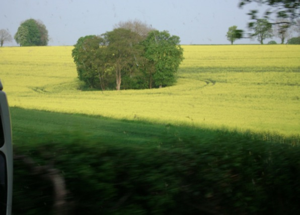 Rapeseed field seen on a Sunday drive