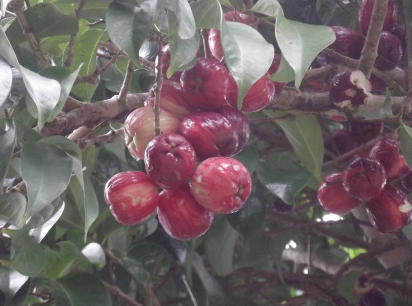 Otaheiti Apples